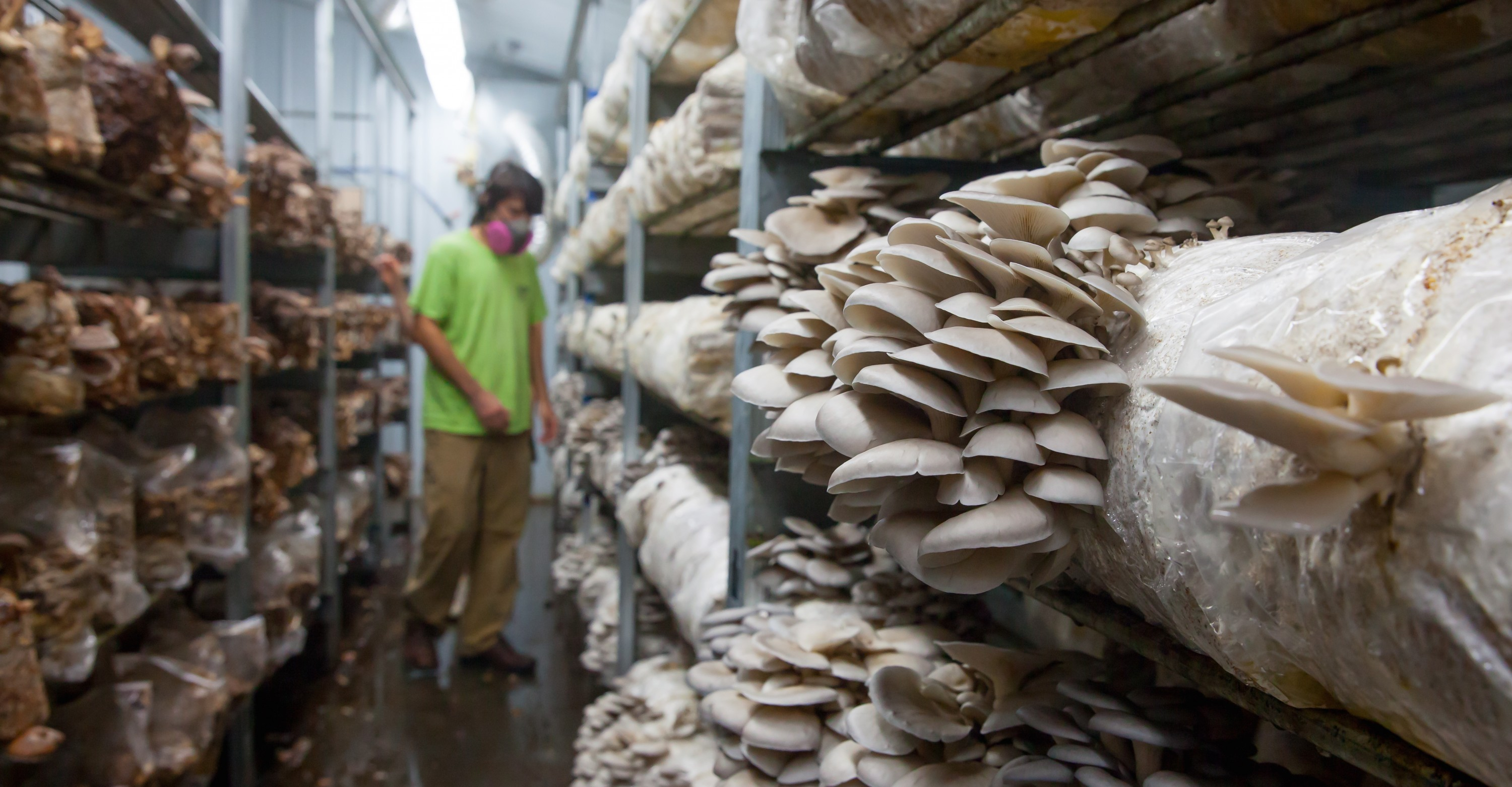 Drake Schutt checks the progress of oyster mushrooms growing in Fiery Fungi's barn.